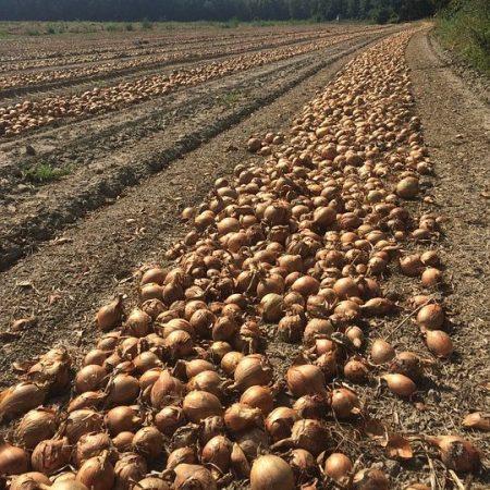 correctly fertilising onions